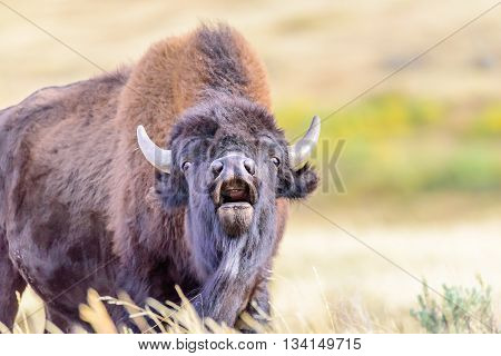 A close up of a roaring bison in Yellowstone National Park