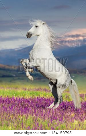 White horse rearing up in flowers against mountain