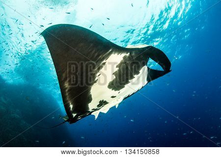 Black Manta Ray at Islas Revillagigedos, Mexico