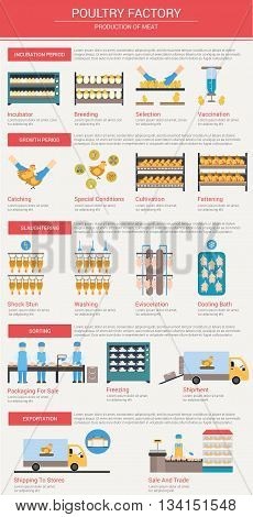 Agriculture, animal husbandry infographics Production of chicken meat The incubation period breeding chickens, vaccination, growth and feeding of poultry Slaughtering and delivery of meat to the store