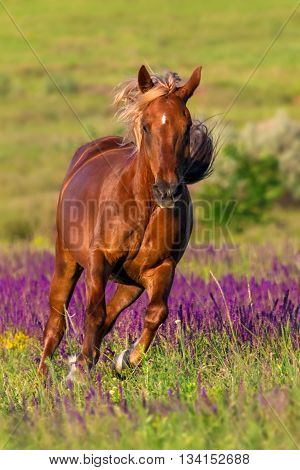 Red horse with long mane run  gallop in flowers at summer day