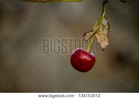 Fruto de cereza o guinda colgando de un arbol