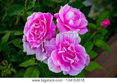 Rosas florecidas en jardin en Bariloche, Argentina.
