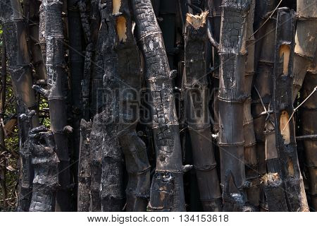 bamboo after a forest fire in Southeast Asia.