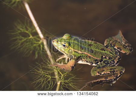 the green frog and the puddle in France