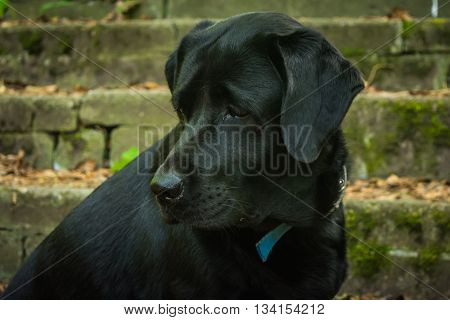 Black Labrador Retriever sitting on the stone steps in the forest