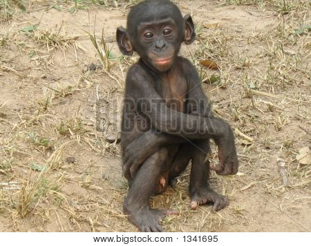 Bonobo_Baby