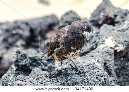 Galapagos Medium-ground Finch (geospiza Fortis)  In Santa Cruz, Galapagos Islands