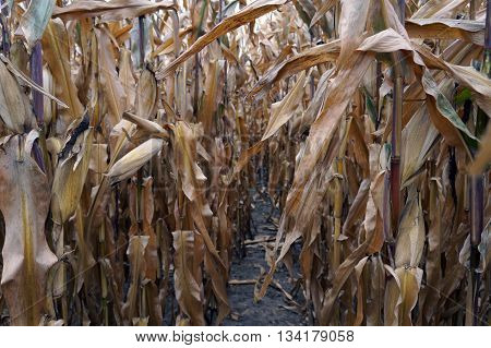 Ears of corn cling to corn plants in a cornfield, prior to harvest during October, in Plainfield, Illinois.