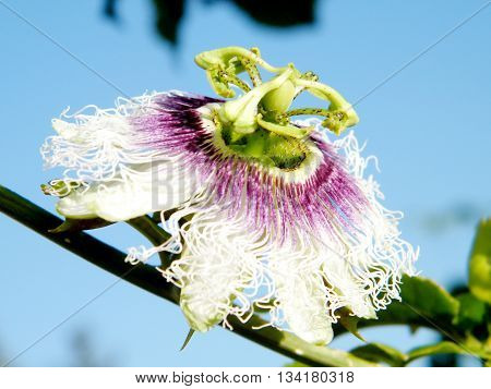 Passiflora flower isolated in Or Yehuda Israel
