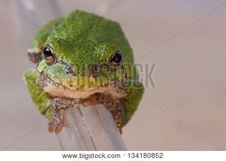 Green tree frog clinging to plastic container