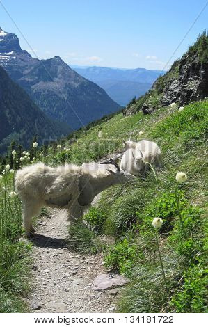 Mother mountain goat and two offspring grazing atop mountain meadow