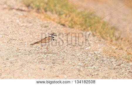 Killdeer shorebird Charadrius vociferous in a marsh in Southern California in spring