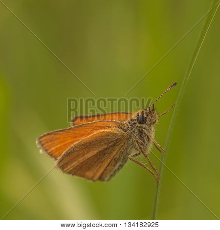 Macro of a Eurpean skipper resting on a thin blade of grass.