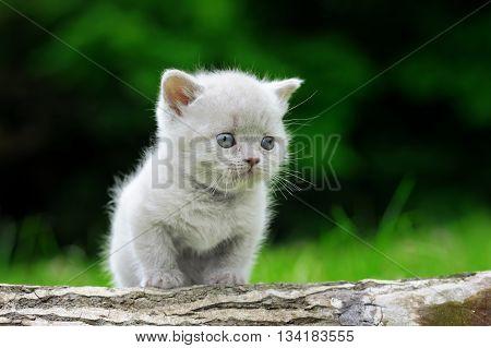 Close Gray Kitten On Tree
