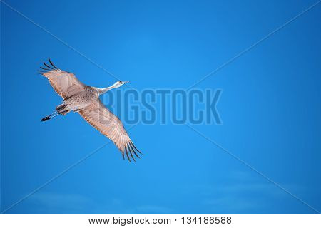 Beautiful tropical crane in flight against blue sky