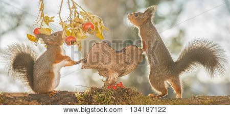 red squirrels are standing with mushroom and brier