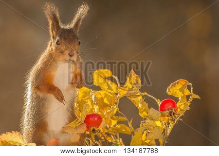 red squirrel is standing with brier in sunlight