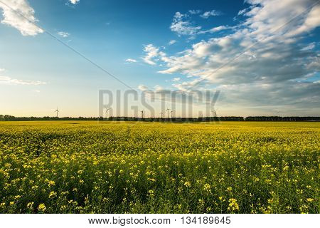 Yellow Rape Field With Sunset Sky
