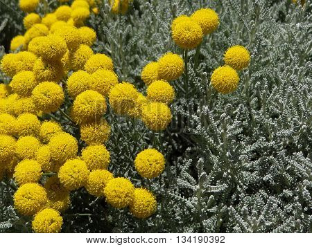 beautiful flower Santolina, with yellow flowers and silvery leaves