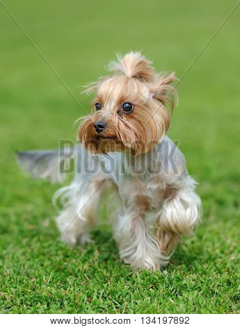 Yorkshire Terrier Dog
