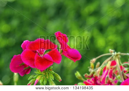 Geranium Photographed In Green