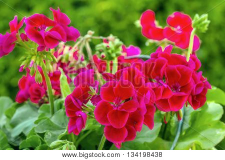 Geranium Flowers In Green