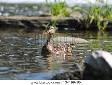 female duck swimming among the stones in the river
