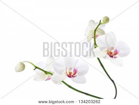 White  and pink orchids  isolated on white