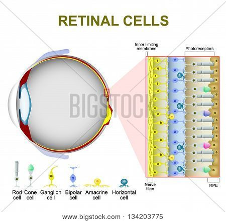 Photoreceptor cells in the retina of the eye. retinal cells. rod cell and cone cell. The arrangement of retinal cells is shown in a cross section