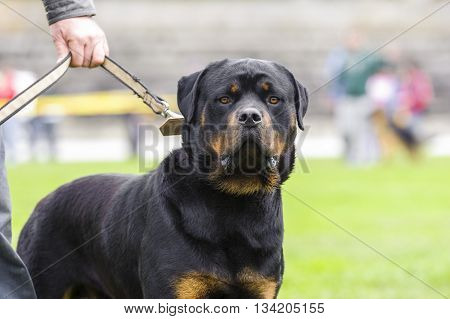 rottweiler dog sitting in the master's leash