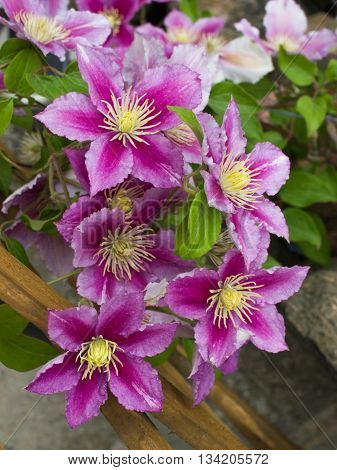 Beautiful pink clematis close-up outdoors. Clematis cultivar 'Piilu'