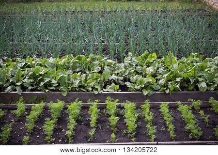 Summer garden beds with different herbs and vegetables