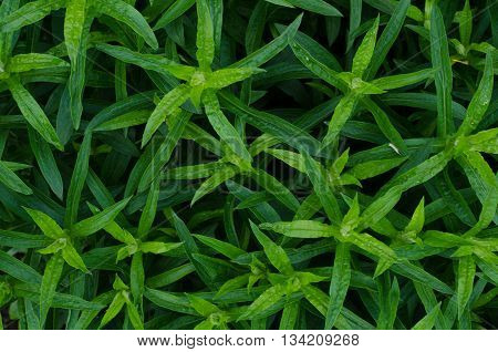 Green bush leaves wall background in the early morning