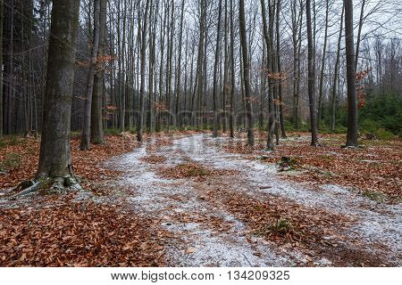 Forrest covered with leaves and path of snow