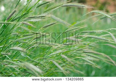 Rye field. Selective focus of ears of rye nature background in early morning