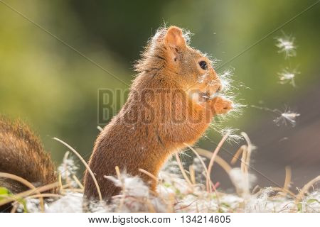red squirrel with pappus on head in sun light