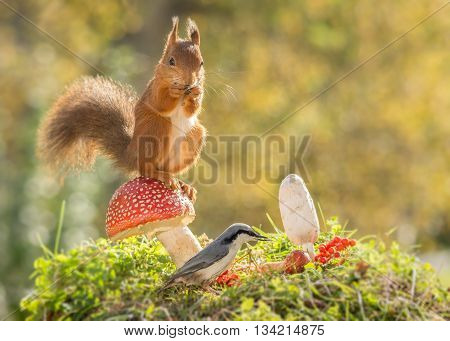 red squirrel standing on mushroom with nuthatch in front