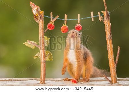 red squirrel standing with a wire with raspberries