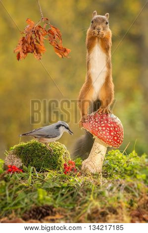 red squirrel standing on mushroom with nuthatch beneath