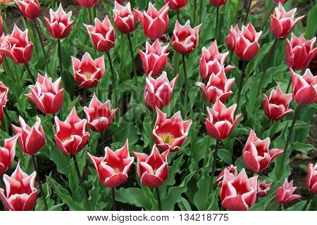 Landscape of pretty pink and white, fringe petal tulips.