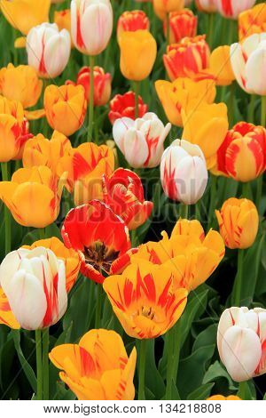 Beautiful array of colorful tulips in landscaped Springtime garden.
