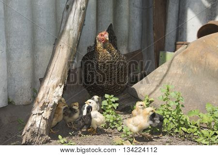 In the summer in the courtyard of the hen with golden chicks.