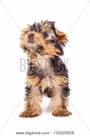 Yorkshire terrier puppy looking up isolated on white background. 3 months old. Front view.