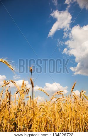 Yellow Wheat Field With Blue Sky And White Clouds 01
