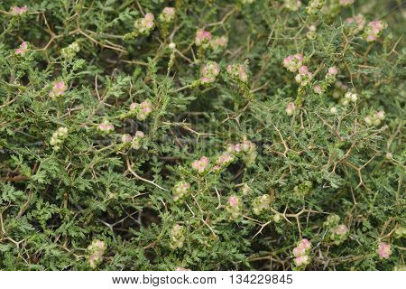 Spiny or Thorny Burnet - Sarcopoterium spinosum Mediterranean Shrub