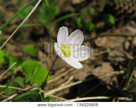 Early spring woods delicate white flower oxalis (common wood sorrel) closeup.