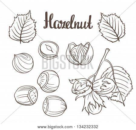 Set of detailed hand drawn hazelnuts isolated on white background. Vector illustration.