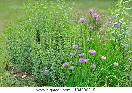 aromatic herbs with chive flowers in a garden