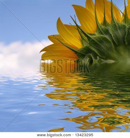 Nice sunflower under blue sky